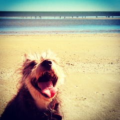 Freida on the beach after chasing seagulls. Try and find a happier dog.